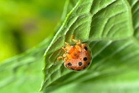 Ladybug insect on green leaf