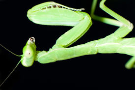 A Praying Mantis On The Black Background Close Up