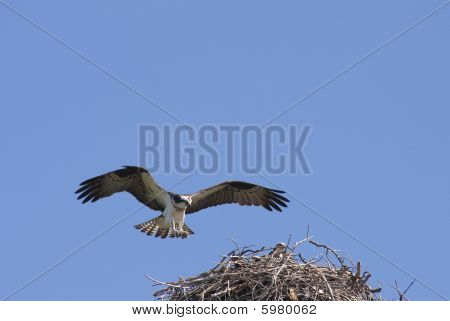 Osprey Coming Into Land