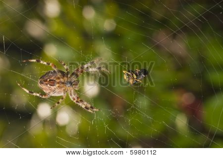 spider with meal