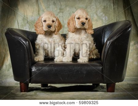 cute puppies - american cocker spaniel puppies sitting on a leather couch on green background - 8 weeks old