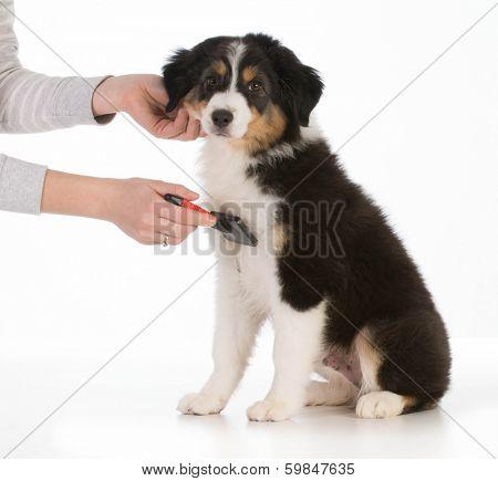dog grooming - australian shepherd sitting being brushed isolated on white background poster