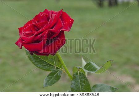 Twig of  fragrant  red rose
