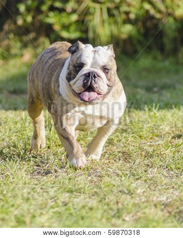 A small young beautiful fawn brindle and white English Bulldog running on the lawn looking playful and cheerful. The Bulldog is a muscular heavy dog with a wrinkled face and a distinctive pushed-in nose. poster
