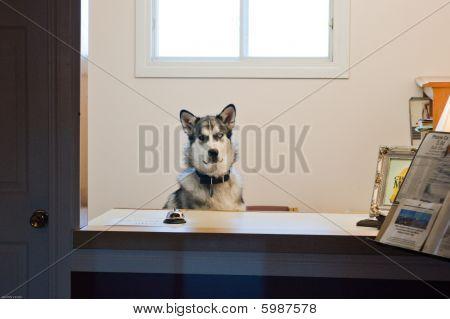 Husky Receptionist