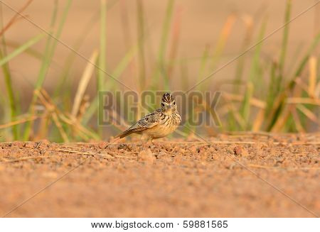 Oriental Skylark (alauda Gulgula)