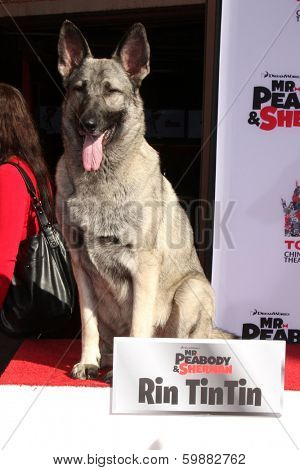 LOS ANGELES - FEB 14:  Rin Tin Tin at the Mr. Peabody honored with Pawprints in Cement at TCL Chinese Theater on February 14, 2014 in Los Angeles, CA
