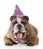 birthday dog - english bulldog yawning wearing happy birthday hat - 2 year old brindle male poster