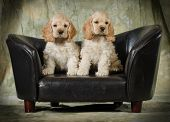 cute puppies - american cocker spaniel puppies sitting on a leather couch on green background - 8 weeks old poster