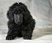standard poodle puppy laying down looking at viewer - 8 weeks old poster