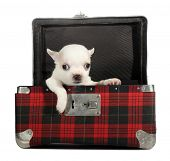 White chihuahua puppy small dog peeps from plaid suitcase poster