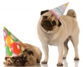 two pug dogs wearing cute birthday hats on white background poster