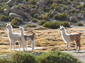 three baby alpacas at the highlands/altiplano of Chili poster