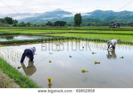 Farmer In Field Rice Farming