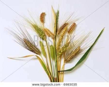 alte Getreide