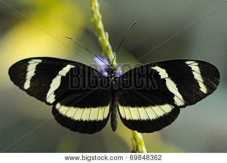 Zebra Long wing butterfly