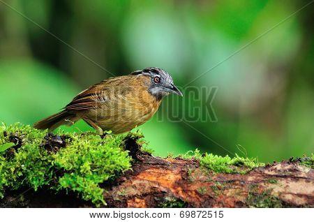 Grey-throated Babbler Bird