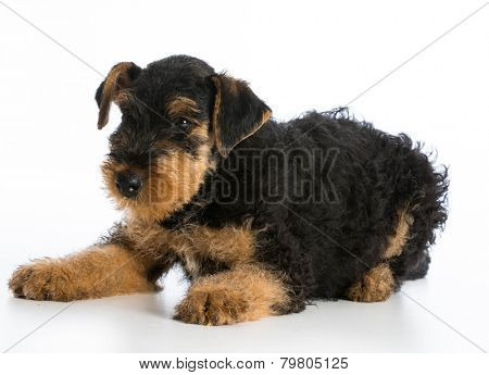 airedale terrier puppy laying down on white background