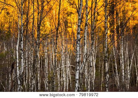 irch trees with selective focus