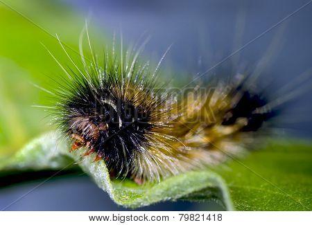 caterpillar eating leaf