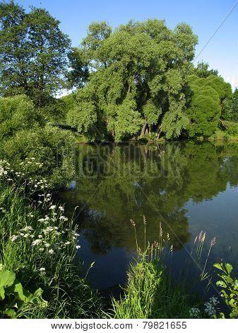 Willow Trees Near Lake