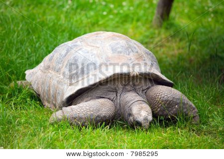 Giant Tortoise , Geochelone Gigantea