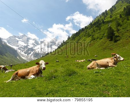 dormant dairy cows