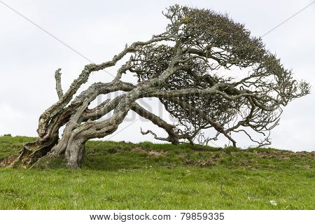 Ancient Lone Hawthorn Tree (crataegus Monogyna),sculpted By The Wind, So It Is Now Bent Over At Nine