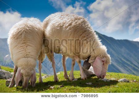 Beautiful Couple Of Sheep Grazing