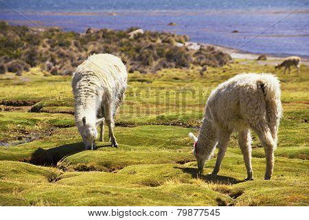 White alpacas graze in Lauca National park, circa Putre, Chile.