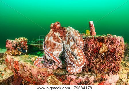 Large Octopus on manmade blocks during an algae bloom