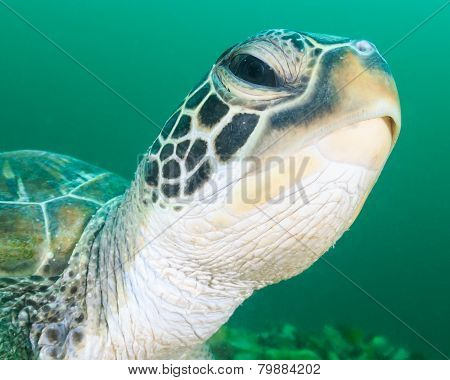 Head of a Green Turtle during an algae bloom