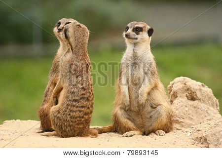 A Fifth Wheel In The  Meerkats Community