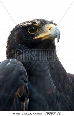Black Eagle Or Verreaux's Eagle Portrait