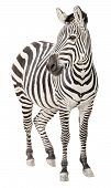 Zebra pregnant two days before foal birth front view looking isolated on white background poster