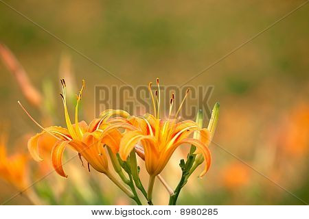 Daylily flower at sixty stone mountatin