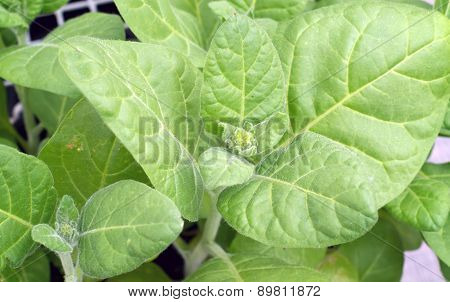 Close Up Of Flower Buds On Tobacco Plant