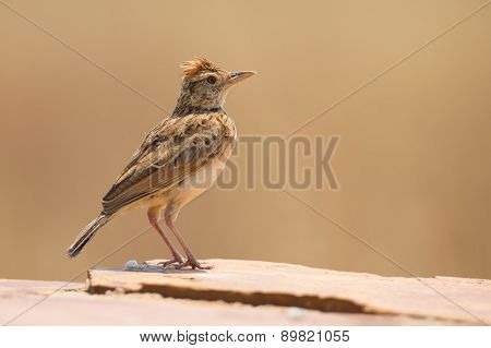 Rufous-naped Lark Sit On A Rock And Call To Claim Territory