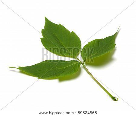 Spring Maple Ash (acer Negundo) Leaf