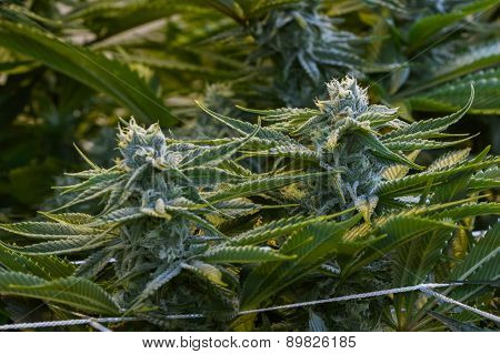 close up of a healthy marijuana plant with crystalline structures in the leafs and buds poster