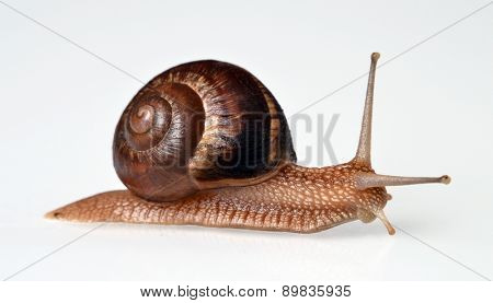 Real snail isolated on White background.