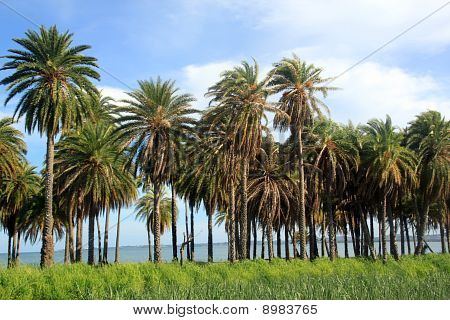 Palm Trees And Sugar Cane
