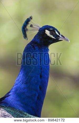 Peacock In The Farm