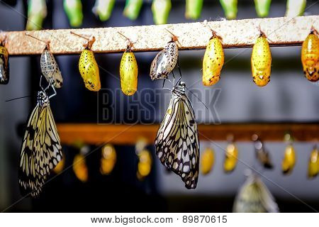 Chrysalis Of Idea Leuconoe Butterfly
