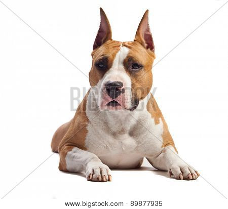 American Staffordshire Terrier isolated on white background