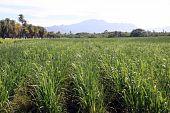 Sugar cane plantation and palm trees on the coast near Nadi Fiji poster