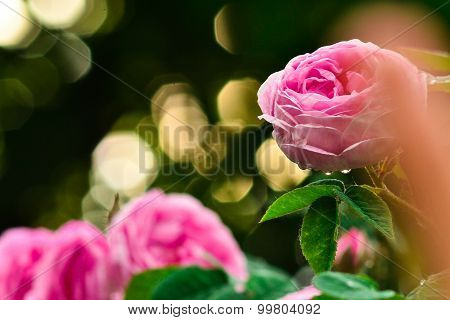 Beautiful Pink Roses In Front Of Blurred Sunset