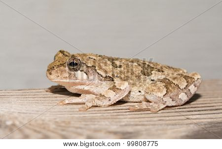 Cope's gray treefrog perched on a wooden rail at night