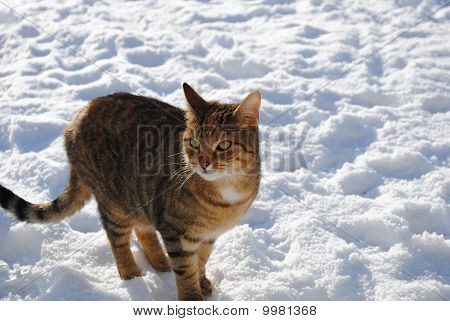 tabby cat in the snow