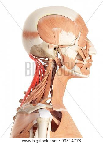medically accurate illustration of the semispinalis capitis